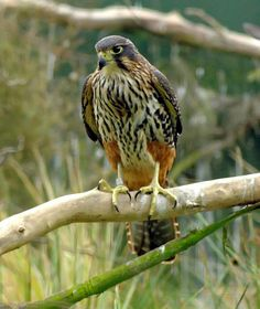 New Zealand Falcon hen raised in captivity but can still capture live birds and rodents which venture within striking distance.