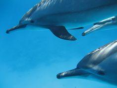 Gezwommen met wilde dolfijnen voor de kust van Marsa Alam.