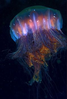 Lion's Mane Jellyfish (Cyanea capillata) – the largest known species of jellyfish. The largest recorded specimen found, washed up on the shore of Massachusetts Bay in 1870, had a bell (body) with a diameter of 7 feet 6 inches (2.29 m) and tentacles 120 feet (37 m) long.