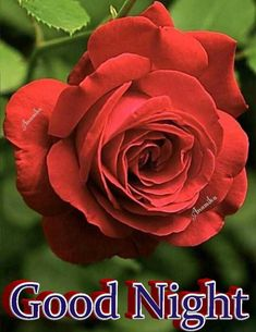 Good Morning Roses, Good Night Image, Night Quotes, Flowers, Plants, Dressmaking, Plant, Royal Icing Flowers, Flower