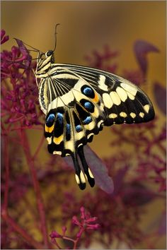 Swallowtails are gorgeous. I'm so sad when I find them on the radiator of my car.