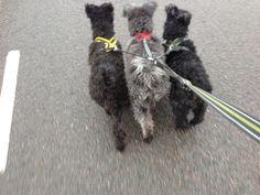 Tre hundar i ett koppel. Det är ett grenkoppel och en koppelförlängare från Björkis. Bjorkis.com  Selarna från snugglepets.co.uk Joggingkoppel från Hurtta.