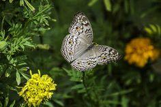 Kelebek, Tayland, Milli Park