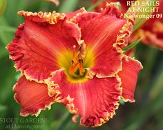 Daylily RED SAILS AT NIGHT – Stout Gardens at Dancingtree