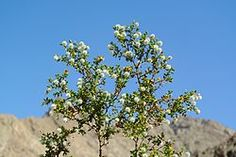 """Southwestern US medicinal plants:  Larrea tridentata,  creosote bush as a plant, chaparral as a medicinal herb, and as """"gobernadora"""" in Mexico, in spanish """"governess,"""" due to its ability to secure more water by inhibiting the growth of nearby plants.It contains nordihydroguaiaretic acid (antioxydant)."""