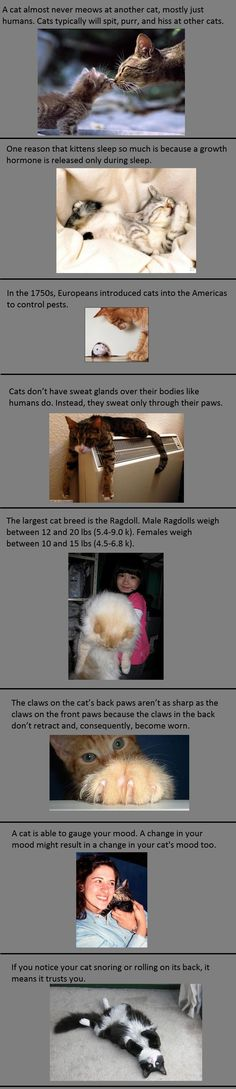 Interesting cat facts - don't think ragdolls are the biggest breeds when main coons can be pretty huge cats