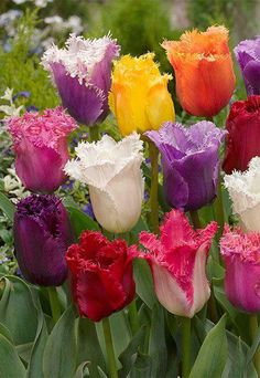 Wow! Look at the colours of these beautiful ruffled tulips.