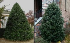 Nellie R. Stephens Holly has a broad, pyramidal growth habit with lustrous, dark blue-green leaves. Holly Bush, Plant Zones, Holly Tree, Zone 7, Dark Blue Green, Evergreen Shrubs, Large Plants, Red Berries, Landscaping Plants
