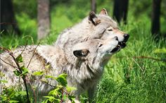 California Has its First Wolf Pack After Nearly a Century The news is definitely big for wolves and for those who have been pushing for them to return to their historic range. The first confirmed wolf to make its way the state since the last one was killed in 1924 was the now infamous 0R-7, who appeared in 2011.