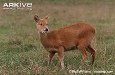 Chinese Water Deer - a small deer superficially more similar to a musk deer than a true deer. Native to China and Korea Amphibians, Mammals, Water Deer, Small Deer, Cute Animals, Odd Animals, Sports Women, Animal Kingdom, Wildlife
