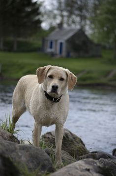 Fly Fishing in Scotland: Orvis guide's Labrador, great companion when fishing on the River Tay at Fishponds Scottish Salmon, Fishing Uk, Atlantic Salmon, Salmon Fishing, Four Legged, Doge, Mans Best Friend, Funny Dogs, Labrador Retriever