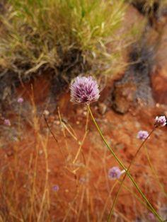 Alice Springs, Australia 2011 by Ashley J. Palmer, via Flickr Alice Springs, Dandelion, Australia, Flowers, Plants, Dandelions, Plant, Taraxacum Officinale, Royal Icing Flowers