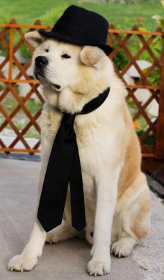 An Akita ready for his date, so cute