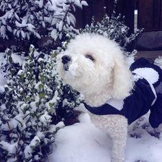 Sweet n' snowy Bichon.