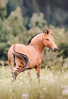 You've probably seen horses on farms or zebras in zoos, but have you ever seen a hybrid of the two? This zebra-horse hybrid is called a zorse and you probably n Unusual Animals, Rare Animals, Animals And Pets, Pretty Horses, Beautiful Horses, Animals Beautiful, Tier Fotos, Animals Of The World, Wild Horses