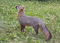 Photographer Bill Amidon writes that this male grey fox is bird watching.