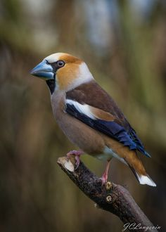 ☀Hawfinch by Jean Claude Langevin on 500px