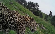 Caught on camera: One of the leopards released by the World Wildlife Fund, with Kremlin backing               T he mountains are velvet...