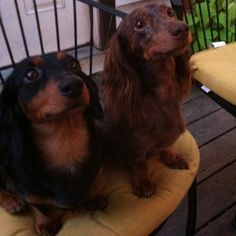 I love long haired - doxies.  If these are minis then I am in love.