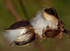 gossypium arboreum - Google'da Ara