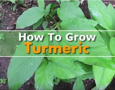 awesome How To Grow Turmeric - is is classified as a superfood, thanks to its many…...