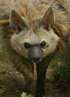 Aardwolf also called the Maanhaar Jackel.Native to east and southern Africa