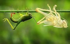 A bright green grasshopper emerges from its old skin, leaving a perfect replica of itself behind.  Photo credit: Adhi Prayoga/SOlent News