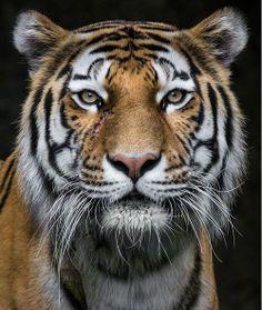 Portraits of the BIG CATS! 🐅🦁🐯 Photo 1 - Tiger by © Wolf Ademeit Photo 2 - Lion by © Photo 3 - Jaguar via © Tambako The Jaguar… Pretty Animals, Cute Animals, Beautiful Cats, Animals Beautiful, Photo Tigre, Aigle Animal, Tiger Photography, Holiday Photography, Tiger Pictures
