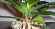 udarea orhideelor, cum se udă orhideele