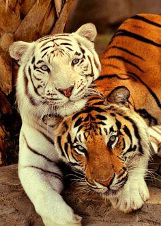 Sweet Tigers