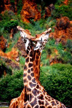 Jirafas en Parque de la naturaleza de Cabárceno, Cantabria, Spain / Giraffes