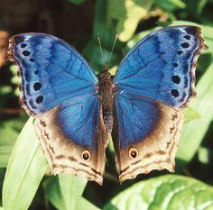 Stunning Bwindi Butterfly- Protogoniomorpha temora