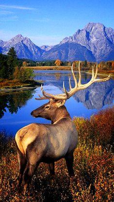 Elk Deer - Behavior, Size, Taxonomy, Pictures and Other Information - Naturbilder - Animals Wild Nature Animals, Animals And Pets, Cute Animals, Wild Animals, Colorful Animals, Wildlife Nature, Nature Nature, Wild Nature, Mother Nature