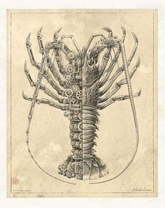"""MECHANICAL / BIOLOGICAL [Crustacean Study] """" This personal project is inspired by old biological studies. It's done with Rotring on homemade ancient paper colored with tea. """" by Steeven Salvat Animal Drawings, Cool Drawings, Pencil Drawings, Ancient Paper, Steampunk Animals, Mechanical Art, Art Antique, Colossal Art, Art Portfolio"""