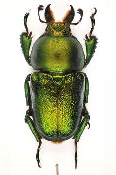 Lamprima aenea (Fabricius, 1792) F Lucanidae