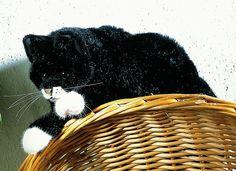 """Mohrle"" Black Cat"