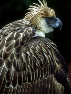 **Philippine Eagle - PHILIPPINE NATIONAL BIRD