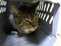 MOONSHINE. My Animal ID # is A1035186. ***TO BE DESTROYED 05/21/15***  Brooklyn Center ** SWEET KITTY!!! ** Moonshine comes to the front of the kennel, interacts with the Assessor, solicits attention, is easy to handle and tolerates all petting. *  My name is MOONSHINE. My Animal ID # is A1035186. I am a male gray tabby and white domestic sh mix.  I am about 5 YEARS old.  I came in  as a STRAY on 05/03/2015 from NY 11208