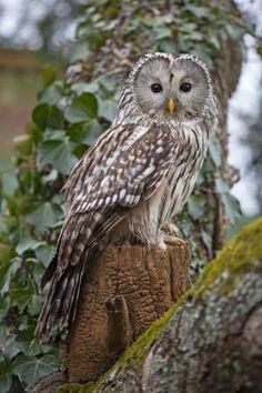 Ural Owl 3 by Phil Owen** Owl Photos, Owl Pictures, Beautiful Owl, Animals Beautiful, Owl Bird, Pet Birds, Barred Owl, Tier Fotos, Mundo Animal