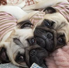 EmergencyPugs - We didn't choose the pug life. *We claim no ownership to the pictures we use.* Email your pictures to EmergencyPugs@yahoo.com!