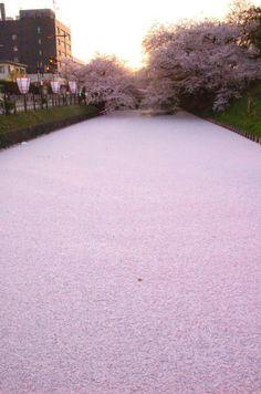 cherry blossom petals. hirosaki park. aomori.