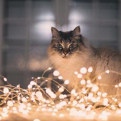 Christmas Kitten, Christmas Animals, Kitten Photos, Dog Photos, November Wallpaper, Foto Fantasy, Cat Icon, Cute Cats, Adorable Animals