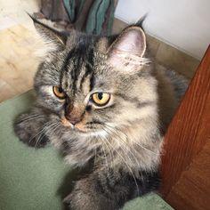 Lurik #persian x ragdoll #kitten #pets #pose #close up