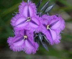 Australian Fringed Lily  (THYSANOTUS multiflorus) - growyourownsecretgarden.com