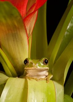 I love frogs because they have the best little faces ever O____O <3