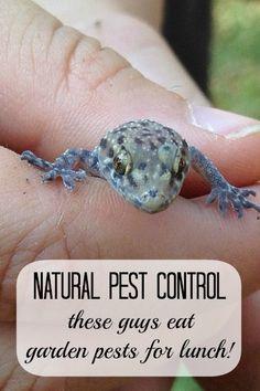 Garden Geckos - Natural Pest Control – MomPrepares