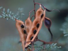 Wattle (acacia) seed pods   #brown