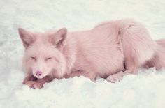 adorable champagne pink fox