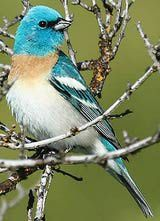 Lazuli Bunting - Male Spring 2015 Stearns Rd La Pine, OR