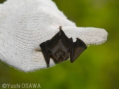 bumble bee bat the worlds smallest bat weighs less than a penny
